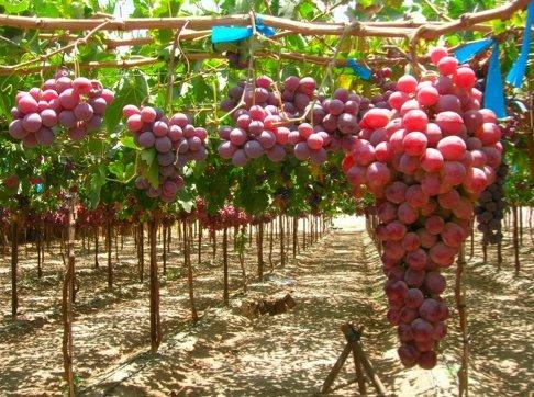 uva-ricca-di-vitamina-C